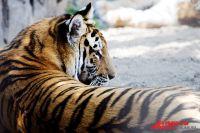 Тигрицу отправили в Японию.
