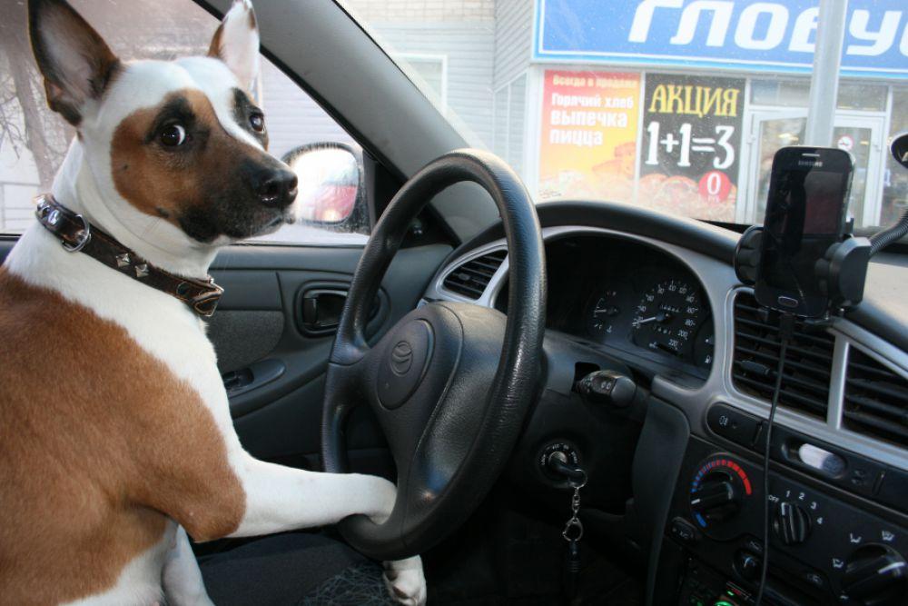 """Елена Бронникова. """"Уж и собака у руля, пора и мне учиться на права""""."""