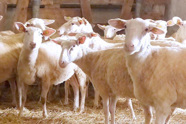 Калининградка засудила соседа из-за овец, съевших картофель на ее огороде.