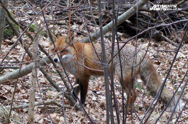 У жительницы Гвардейского района изъяли смертельные ловушки для животных.