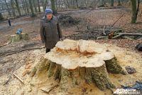 Прокуратура выясняет, почему под Калининградом вырубают лес времен Кенигсберга.