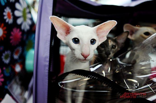 Ориентальная кошка своенравна. Они ближайшие родственники сиамов, но не такие агрессивные. Спокойно могут гулять на поводке.