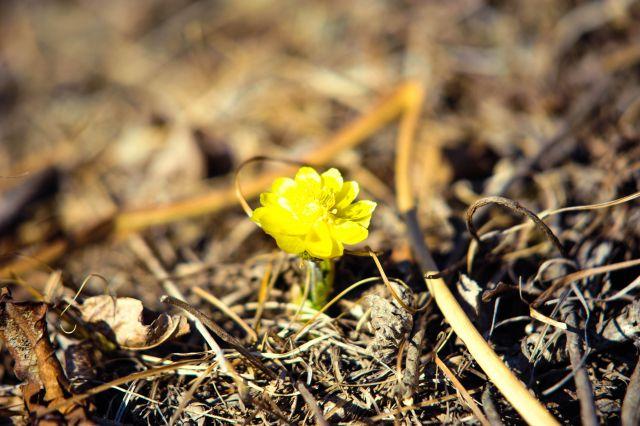 Адонисы - предвестники весны.