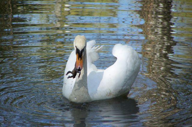 Лебедь в пруду.