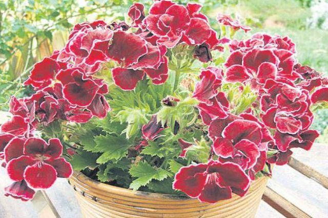 Пеларгония против никотина: это нежное растение способно противостоять курильщику.