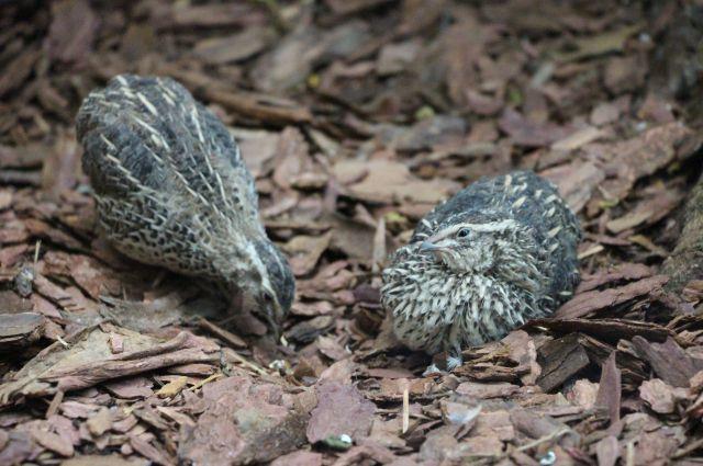 В зоопарке Калининграда к борьбе с тараканами привлекли японских перепелов.