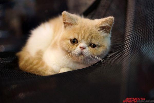 Международная выставка кошек - одна из главных экспозиций этой весны.