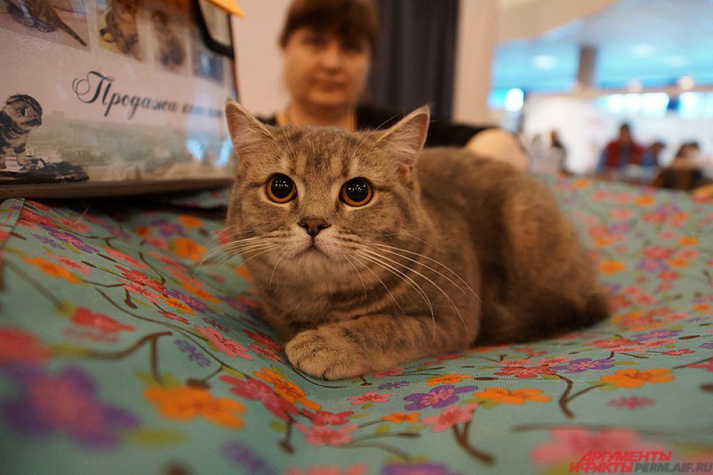 Иногда хозяева доставила кошек и выставляли их перед публикой на показ.
