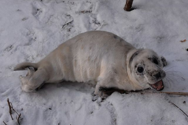 Участковый спас тюленя сльдины