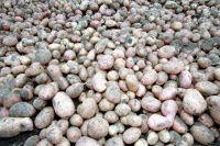 Картофель - самый актуальный продукт после хлеба.