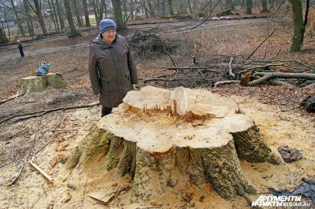 Вот что осталось от вековых деревьев.