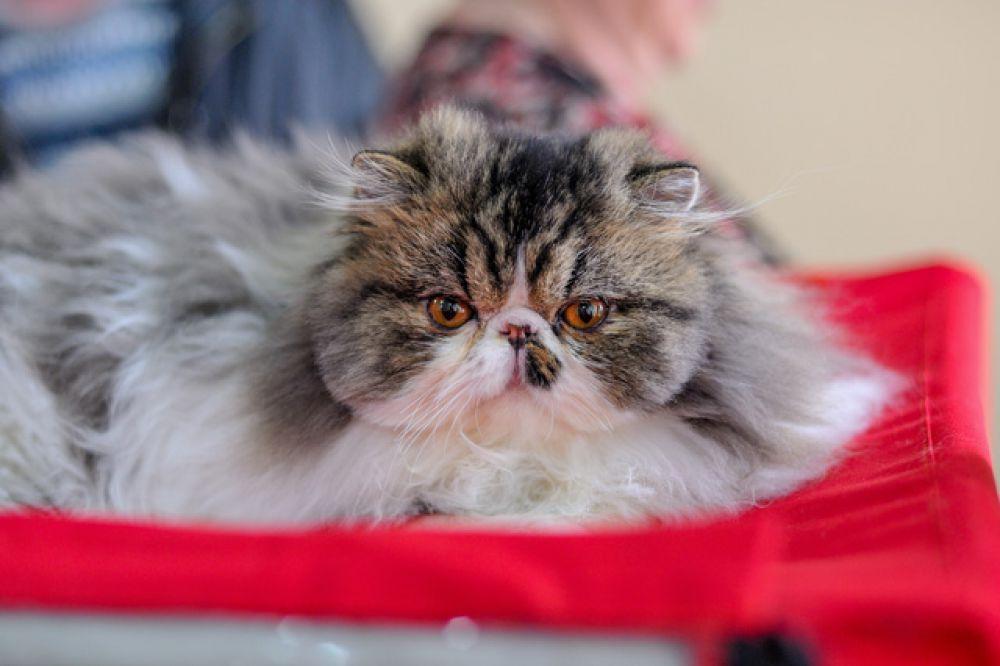 Персидские кошки - как плюшевые игрушки.