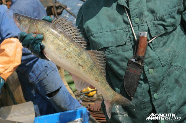 На водоемах Калининградской области запрещена рыбалка из-за нереста.