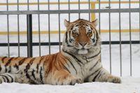 Тигр Лотос из Барнаульского зоопарка