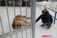 Тигр Амур.