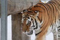 Тигр Лотос на прогулке.