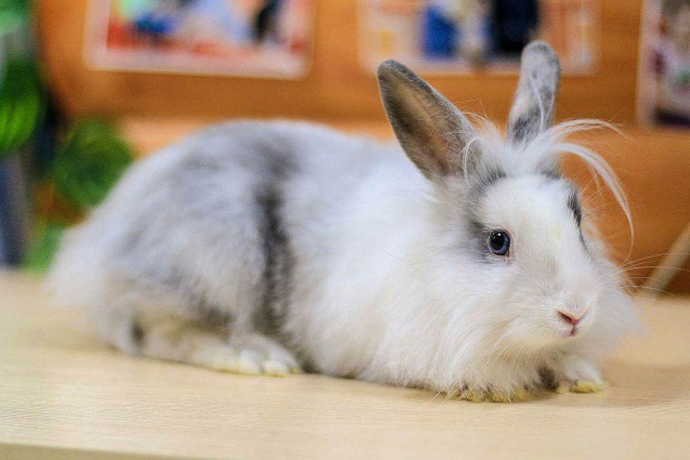 Максимальная официально зарегистрированная длина кроличих ушей - 80 см.