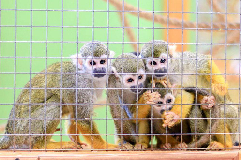 Саймири или беличьи обезьяны.