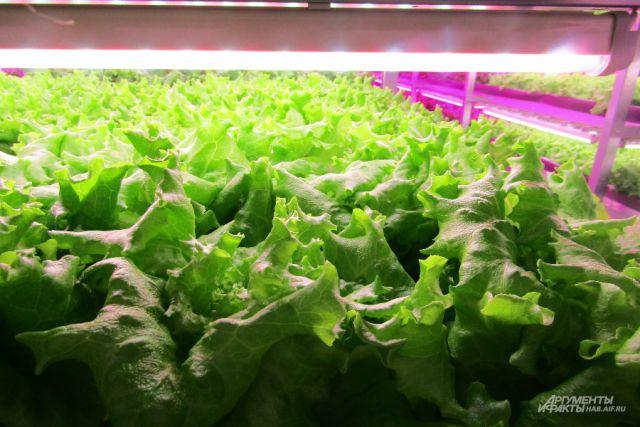 Зелень на новом заводе выращивается беспочвенным методом и под искусственным освещением