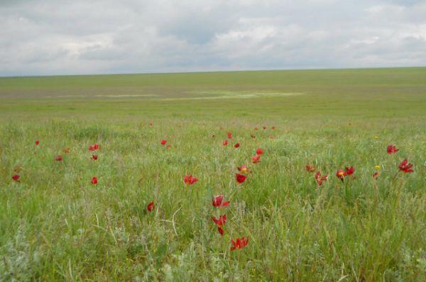 Также частники фестиваля смогли стать свидетелями массового цветения тюльпанов в донской степи.