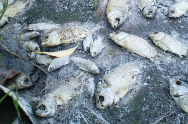 Из-за действия преступников массово гибнет рыба.