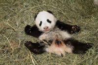 У парка панд в Китае появится свой сувенир