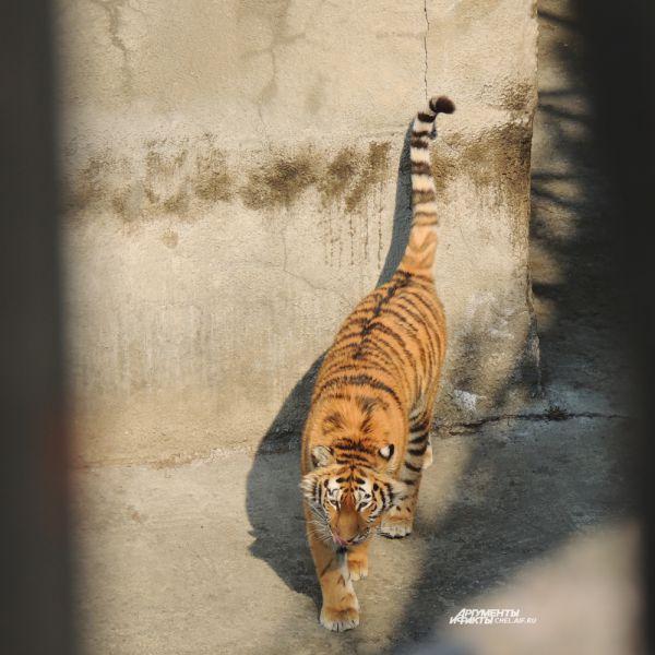 Тигр прекрасен, величествен и грациозен.