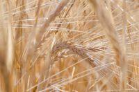Сейчас отечественные производители выигрывают конкуренцию лишь по озимой пшенице.