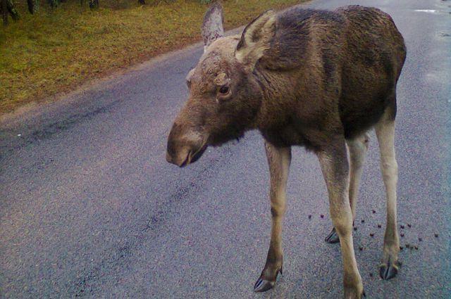 Под Калининградом автомобилист чуть не сбил перебегавшего дорогу лося.