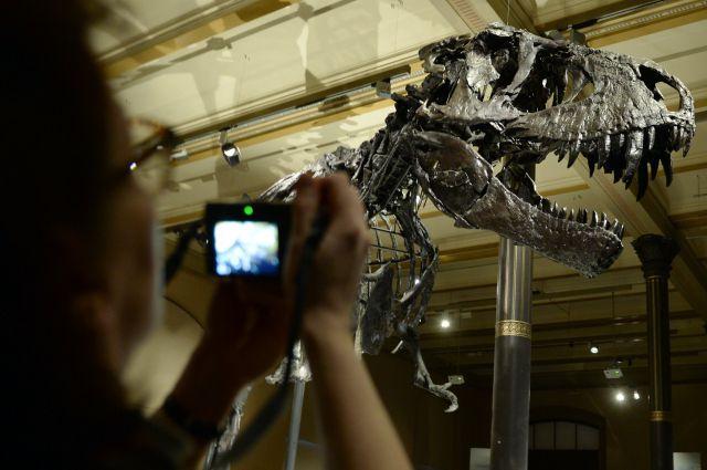 скелет динозавра в музее, архивное фото