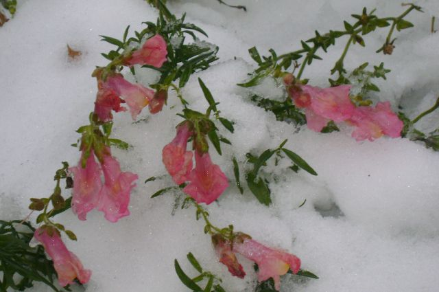 Когда цветы оказываются под снегом - нередкое явление.