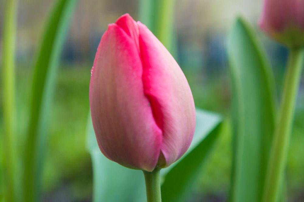 Пензенские тюльпаны.