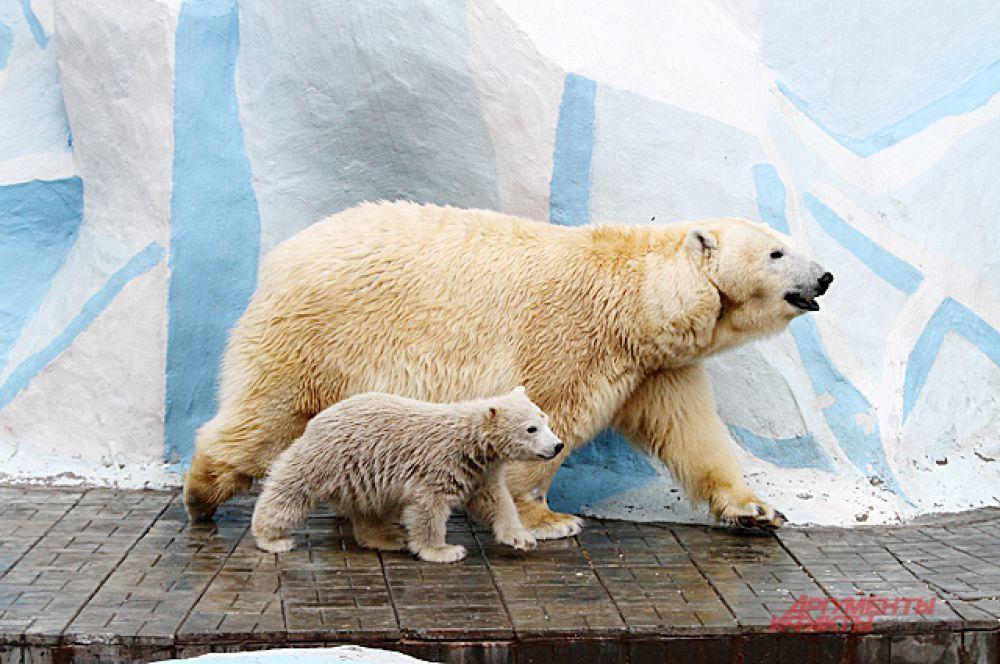 Он пока далеко от медведицы не отходит.