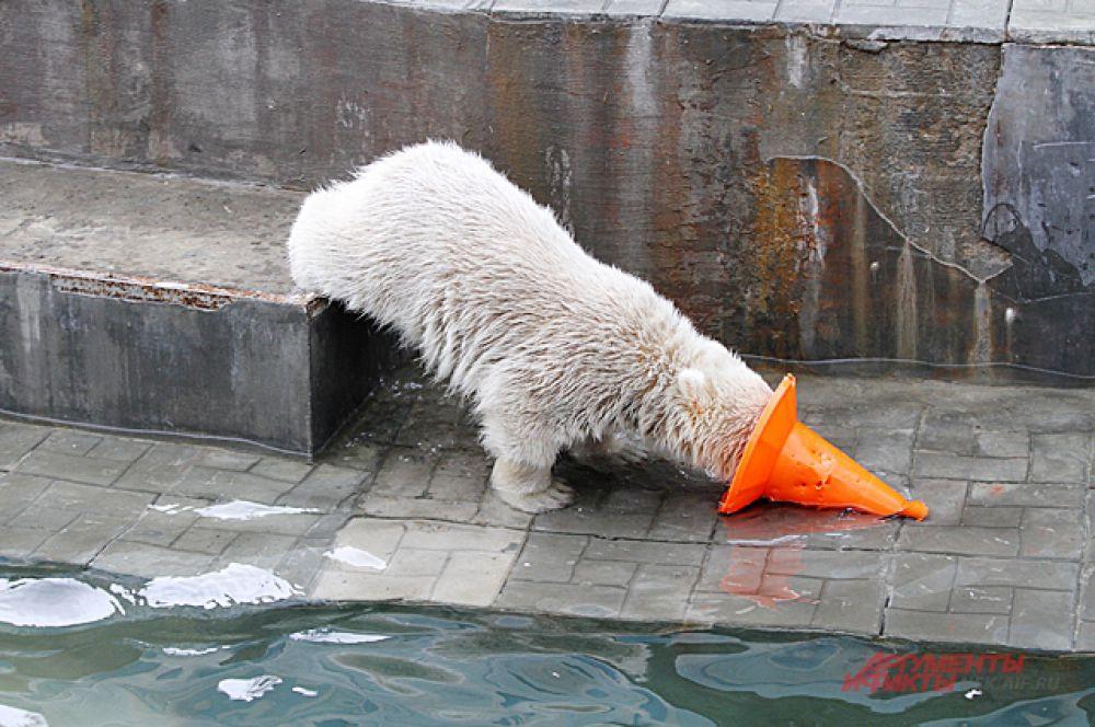 Уже заметно, что характер у медвежонка не такой, как у Шилки. Он боевой и не спокойный.