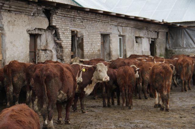 Ценные породы коров содержаться в скотных дворах, построенных в середине прошлого столетия.