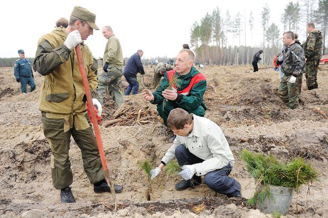 Взамен вырубленных появляются новые деревья. Но достаточно ли их?