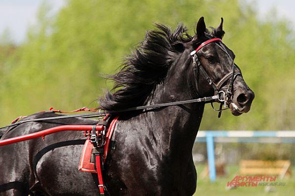 Черные лошади кажутся очень нарядными, на их шерсти необыкновенно ярко выделяются белые отметины, если они есть.