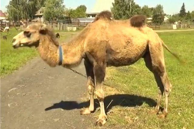 Верблюд обиделся на владельца иоткусил ему голову