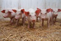 Вакцины от африканской чумы свиней нет