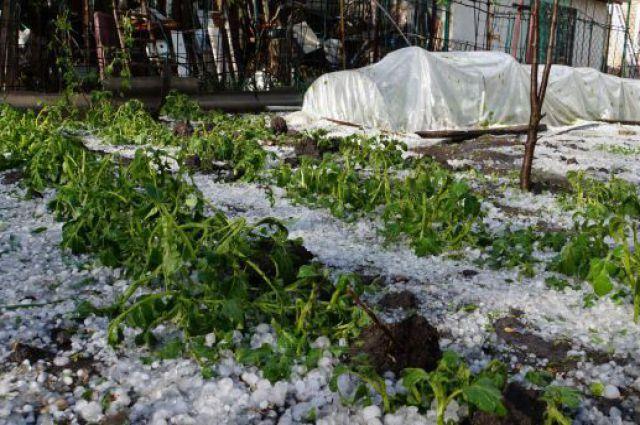 НаСтаврополье после града пробуют  спасти урожай на1800 га
