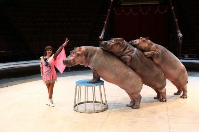 Циркового шоу «Гиппопотамус»