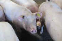 Каждая свинка приносит до 14 поросят.