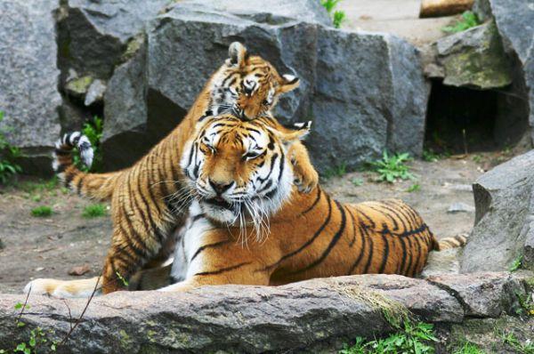 Амурский или уссурийский тигр — около 540 особей. Амурский тигр — самый крупный в мире и единственный из тигров, освоивший жизнь в снегах. Поэтому этого величественного представителя семейства кошачьих люди с давних пор уважительно называют «хозяином уссурийской тайги».