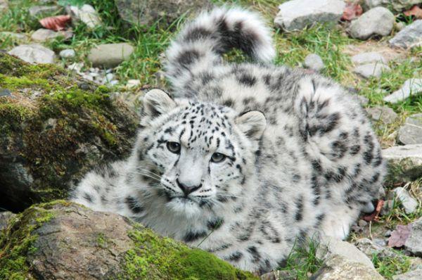 Снежный барс или ирбис — 80–90 особей. Снежный барс обитает в труднодоступных горных районах Центральной Азии и всячески избегает встреч с человеком, поэтому об этой кошке известно очень мало. Отличительной чертой ирбиса является длинный пушистый хвост — длина тела этого зверя составляет 100–130 см, а хвоста — около 90–105 см.
