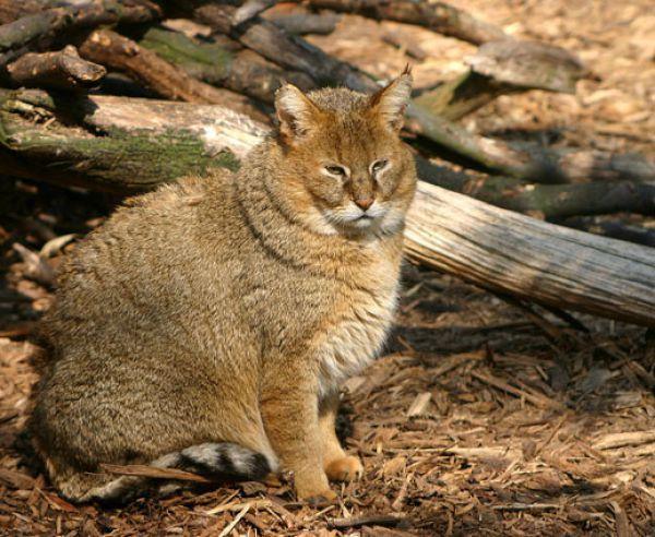 Кавказский камышовый кот или хаус — около 500 особей. Камышовый кот получил свое название из-за того, что обитает в густых зарослях по берегам рек и озер, лишь изредка выбираясь на открытые пространства. Эти звери гораздо крупнее домашних кошек — их вес иногда достигает 12 кг. В отличие от домашних питомцев, камышовые коты совершенно не боятся воды. В случае опасности они часто стараются уплыть от обидчика. В России камышового кота можно встретить на западном побережье Каспийского моря, в частности, в Дагестане.