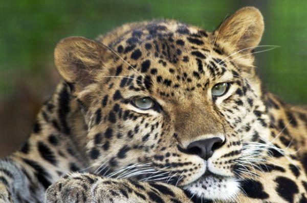 Дальневосточный леопард — не более 70 особей. Это самый северный подвид леопарда и самый миролюбивый из крупных кошек: он никогда не нападает на человека. Встретить этот вид животных можно только на Юго-Западе Приморья. На сегодняшний день дальневосточный леопард остается самой редкой крупной кошкой на планете. В дикой природе России их около 70 особей, а в мире — всего до 80.