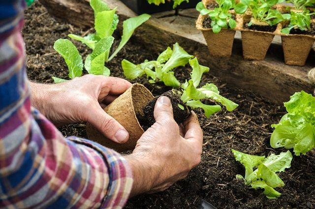 Сажаем растения в огороде 964