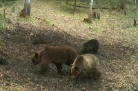 Медведица с медвежатами.