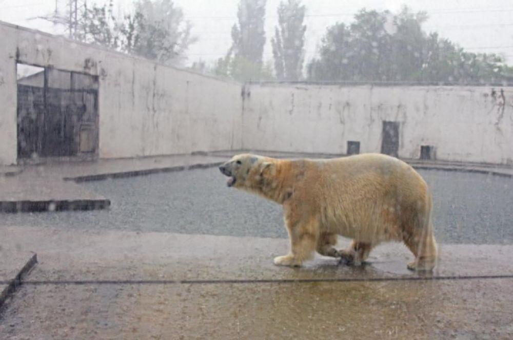 Сегодня в донской столице можно увидеть двух белых медведей: 12-летнего старожила Якута и трёхлетнюю любимицу публики Комету.