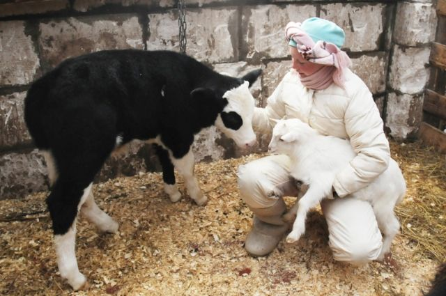 От каждой коровы фермеры получают примерно три тысячи литров добротного высококачественного молока в год.